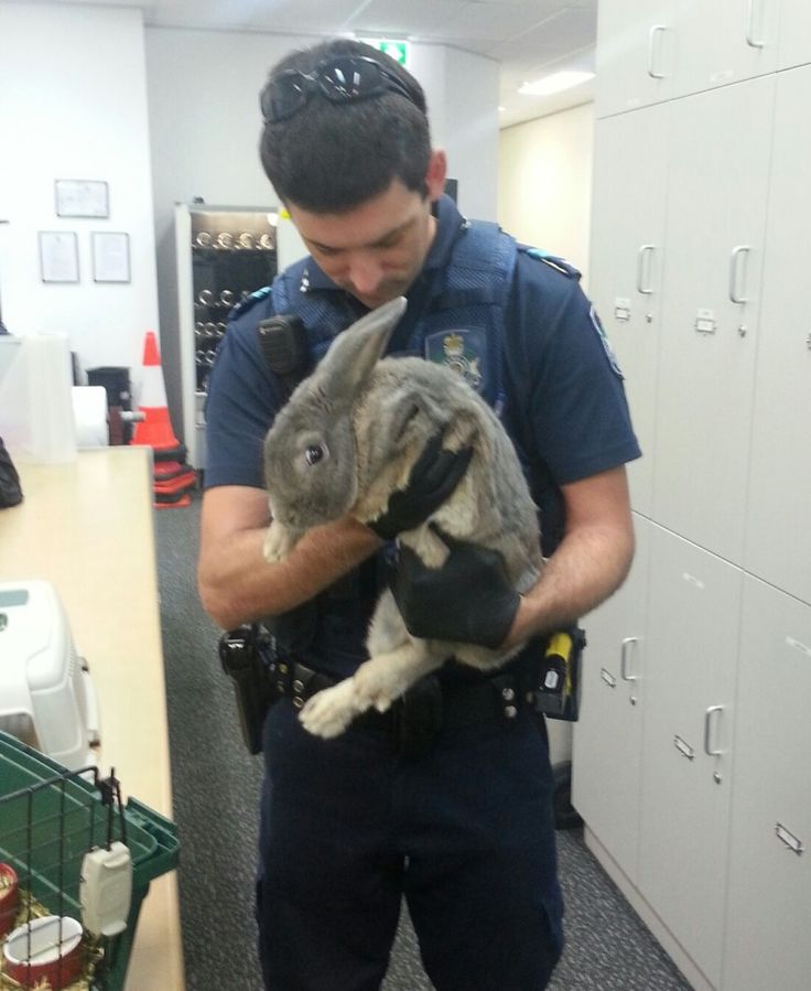 Somebunny tried unsuccessfully to convince Springwood Police that this little guy was actually a guinea pig. It is an offence to possess a rabbit in the state of Queensland unless you have the proper authorisation. This tale has a hoppy ending though with our furry friend heading off to a rabbit rescue sanctuary just in time for Easter. 