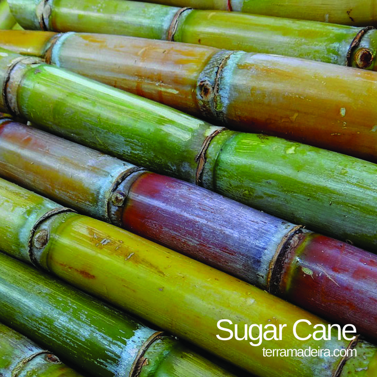 The sugar cane belongs to the herbaceous family with sturdy roots. It's rich in a variety of vitamins and minerals, including calcium, magnesium and vitamin B2. Can be eaten fresh and is mostly used in Madeira island to produce sugar cane honey and others. #terramadeira