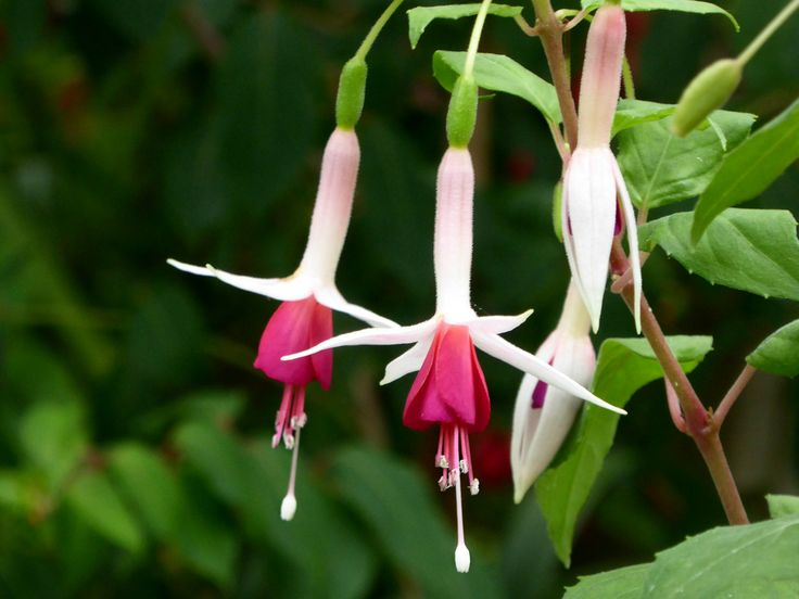 Linda DV posted a photo:  Belgium.  National Botanic Garden.  www.br.fgov.be/PUBLIC/GENERAL/index.php  Fuchsia is a genus of flowering plants that consists mostly of shrubs or small trees. The first, Fuchsia triphylla, was discovered on the Caribbean island of Hispaniola (Haiti and the Dominican Republic) about 1696–1697 by the French Minim monk and botanist, Charles Plumier, during his third expedition to the Greater Antilles. He named the new genus after the renowned German botanist…