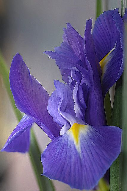 There were simple purple and yellow iris in the flower bed in my secondary school. though not not. And then see more various of iris of different colour and shapes in UK ...  Iris impression by Lord V on Flickr*