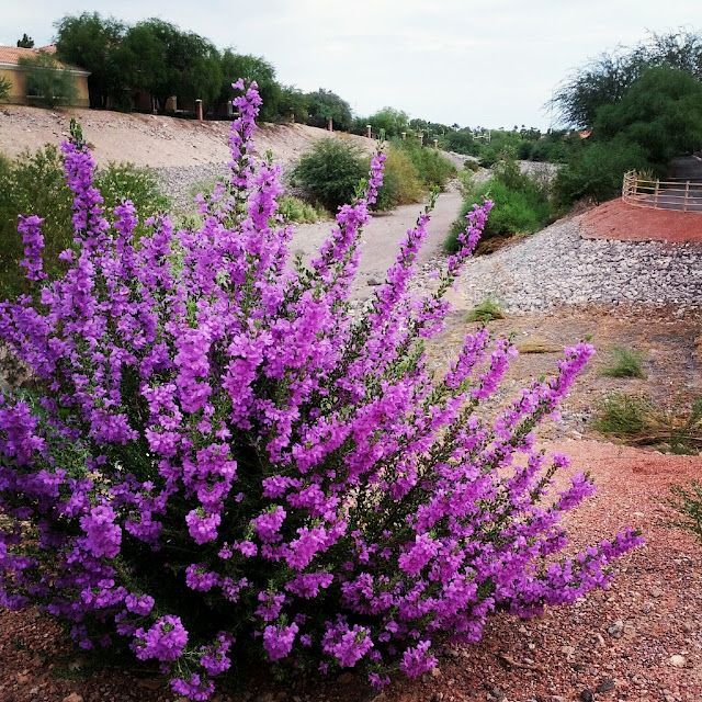 Leucophyllum frutescens, the Texas Sage, or Texas Ranger, is sometimes called Barometer Bush because it bursts into purple blossoms whenever the humidity is high enough.