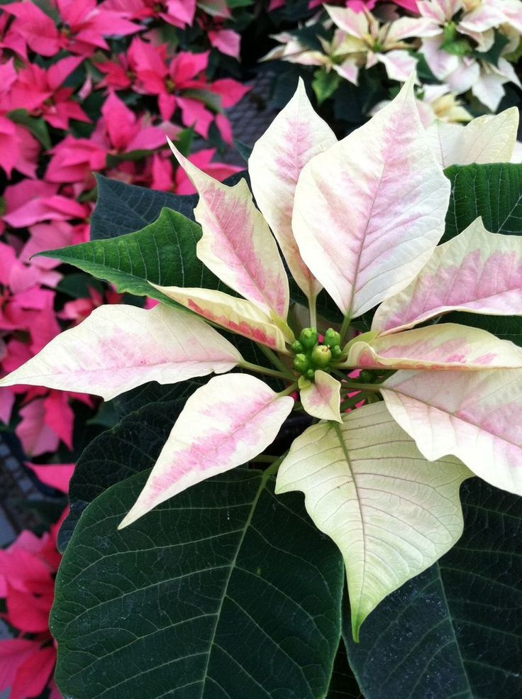 Best images about poinsettias ⊱╮ on pinterest before