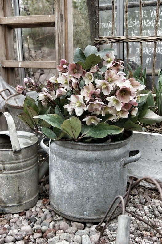 hellebores and zinc containers...perfect