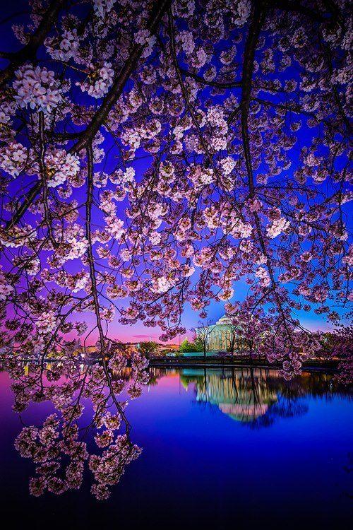 Cherry Blossom Dawn, Washington D.C.