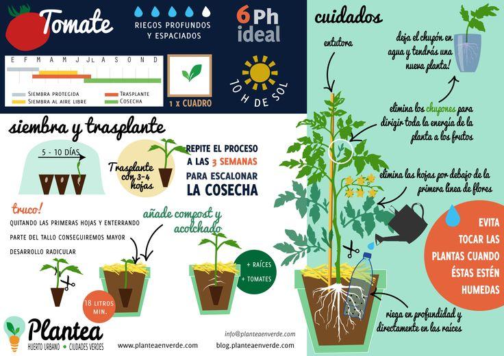 Cómo cultivar tomates
