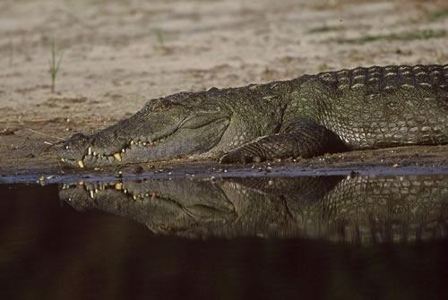 Sri Lanka mugger crocodile