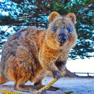 WESTERN AUSTRALIA: visit Rottnest Island and see the quokkas