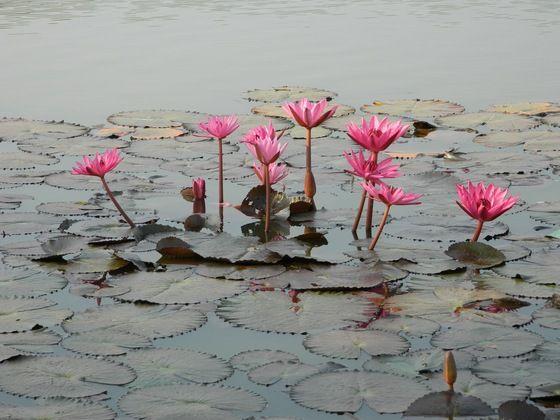 Fiori di loto nello stagno! - una pic dalla #thailandia di Giorgio Cavallo