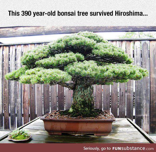 Very old bonsai tree