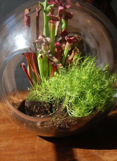 les 11 meilleures images du tableau plantes carnivores sur pinterest plantes carnivores. Black Bedroom Furniture Sets. Home Design Ideas