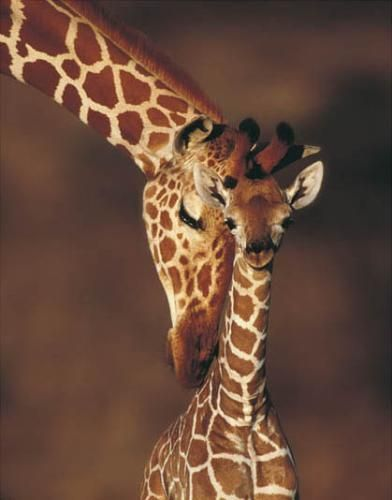 Giraffes. Favorite animals.