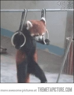 Does this red panda work out more than you? video