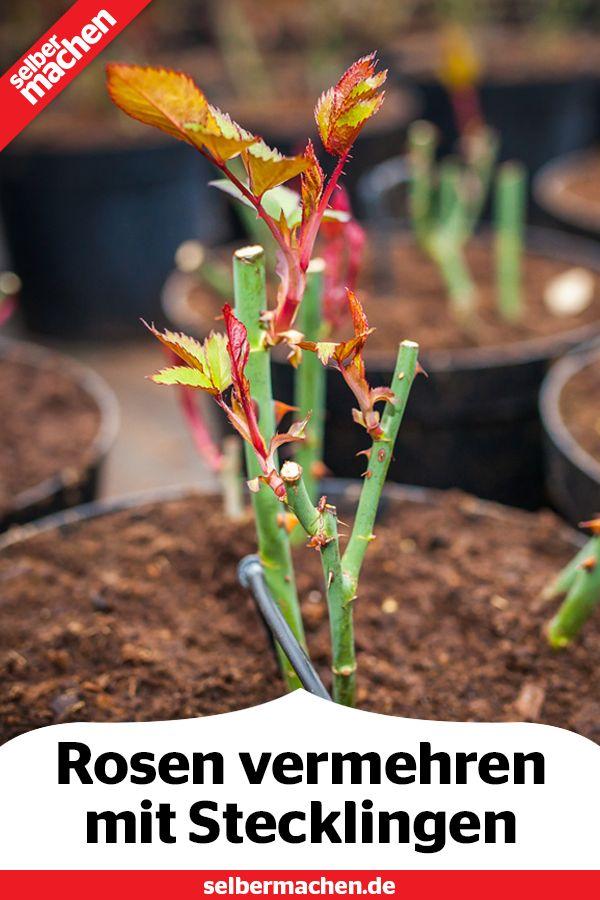 Rosen mit Stecklingen vermehren – GARTEN   Rasen & Pflanzen