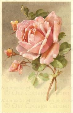 Victoian Peach Rose ~  ourcottagegarden.com
