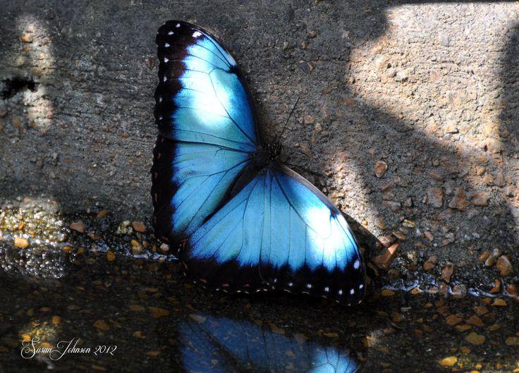 Beautiful Blue Morpho Butterfly by AlaskaGrl