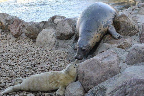 Przełom lutego i marca to już tradycyjnie wyczekiwany czas foczych narodzin w Stacji Morskiej Instytutu Oceanografii Uniwersytetu Gdańskiego w Helu. Okres ten jest szczególny nie tylko dla samych fok, ale i ich opiekunów. Przygotowany jeszcze w lutym monitoring video na bieżąco rejestruje zachowania samic. Kiedy apetyt fok spada i zaczynają one wychodzić częściej na brzeg w okolicach najpłytszego z basenów, to znak, że czas, aby trenerzy zwierząt rozpoczęli całodobowe dyżury.