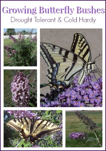 Growing Butterfly Bushes:   these hardy plants even if they didn't attract so many butterflies, bees, and hummingbirds. They require very little water, do not mind poor soil, are unfazed by 100 degree heat, and can survive –20 degree winters. Around here they are known as easy keepers!
