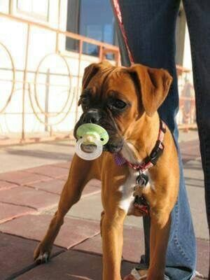 I want another boxer just so I can give her a pacifier! This puppy is just too cute!  Boxer mommy til the end!