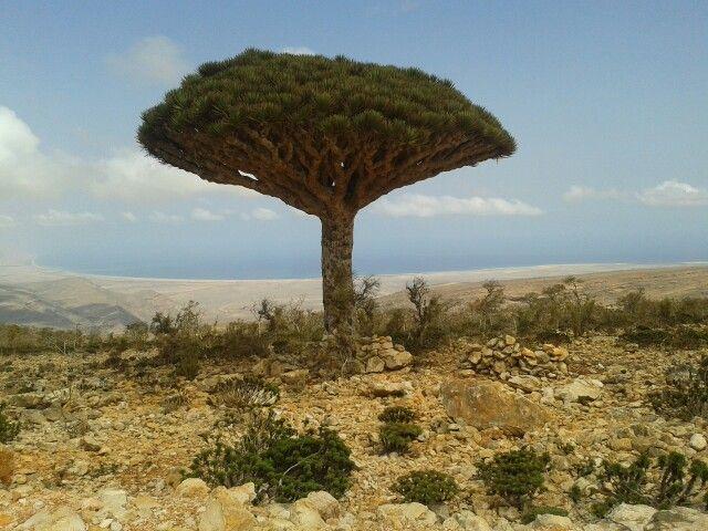 Socotra, Yemen has lots of beautiful things.