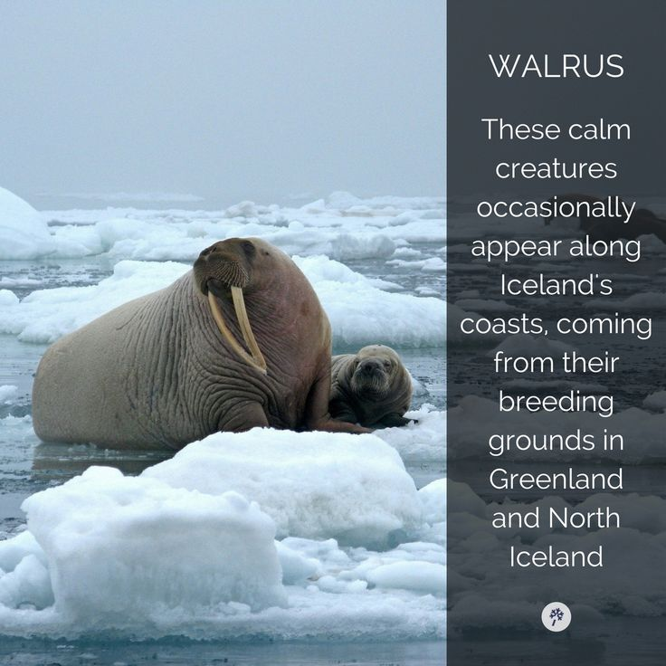 Tag a friend who claps like a #Walrus! Explore #IcelandicAnimals with #TourIS!