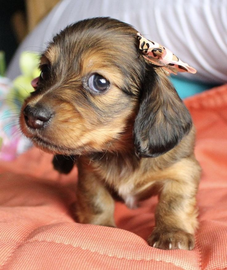 Shaded Red Longhair Miniature dachshund Puppies