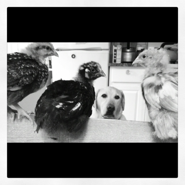 Henry and the new chicks