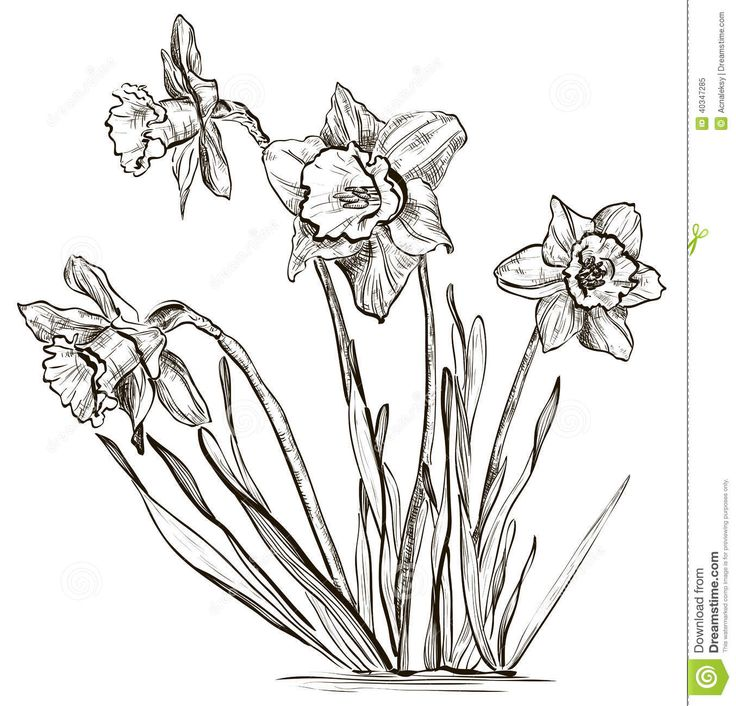 Line Drawing Daffodil : Images about flowers drawing of daffodil on