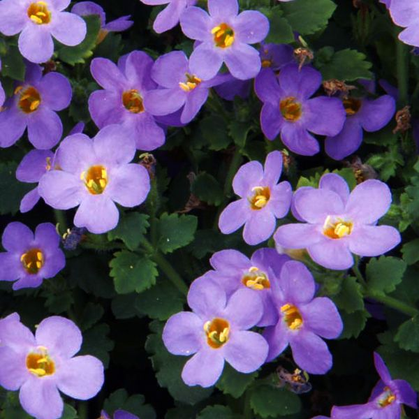 Dark Blue And White Flowers: Bacopa 'Big Falls™ Big Dark Blue'