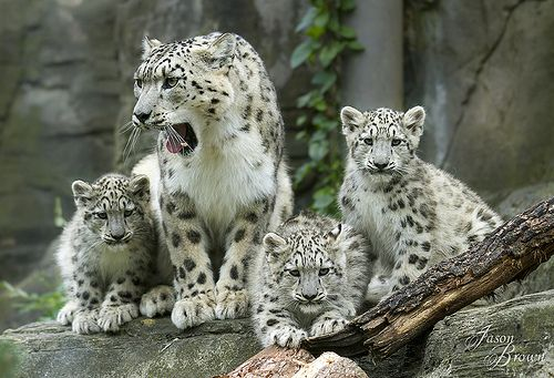 Irina's family of cubs | Marwell Zoo's latest snow leopards … | Flickr