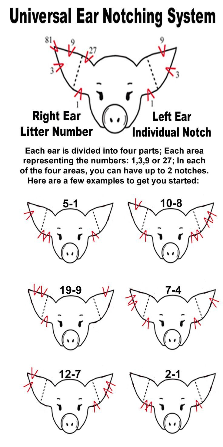 Pig ear notching ear notch diagram homestead pigshogs pig ear notching ear notch diagram homestead pigshogs pinterest pig ears robcynllc Gallery