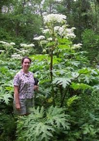 "Giant Hogweed Plant and it's ""look a likes"". How to tell the difference"