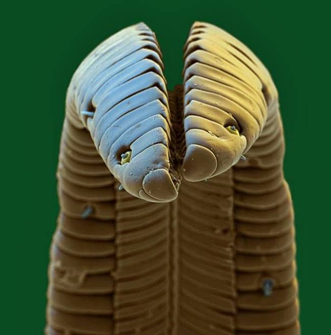 Microscopic shot of a hummingbird hawk moth's tongue