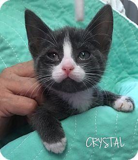 6/13/16 - Great Neck, NY - Domestic Shorthair. Meet CRYSTAL, a kitten for adoption. http://www.adoptapet.com/pet/15774916-great-neck-new-york-kitten