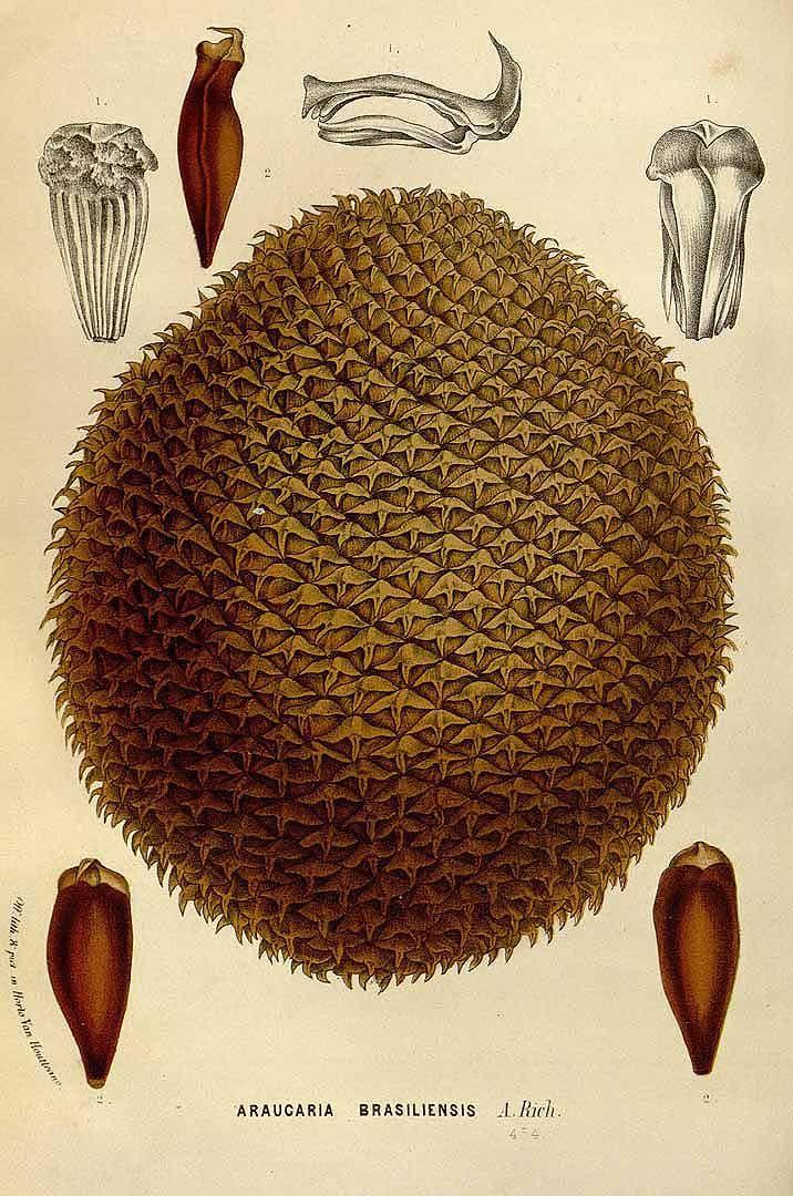 Araucaria angustifolia (Bertol.) Kuntze [as Araucaria brasiliensis A. Rich.] Brazilian pine, candelabra tree, paraná pine Houtte, L. van, Flore des serres et des jardin de l'Europe, vol. 21: t. 0 (1845)