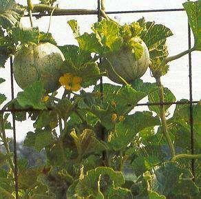 Groenten in de tuin: de kunst van meloenen (Cucumis) kweken(1135025750)