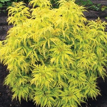 Sambucus racemosa 'Morden Golden Glow "