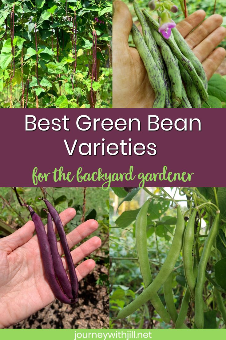 What Kind Of Green Beans Should You Grow Growing Bush Beans