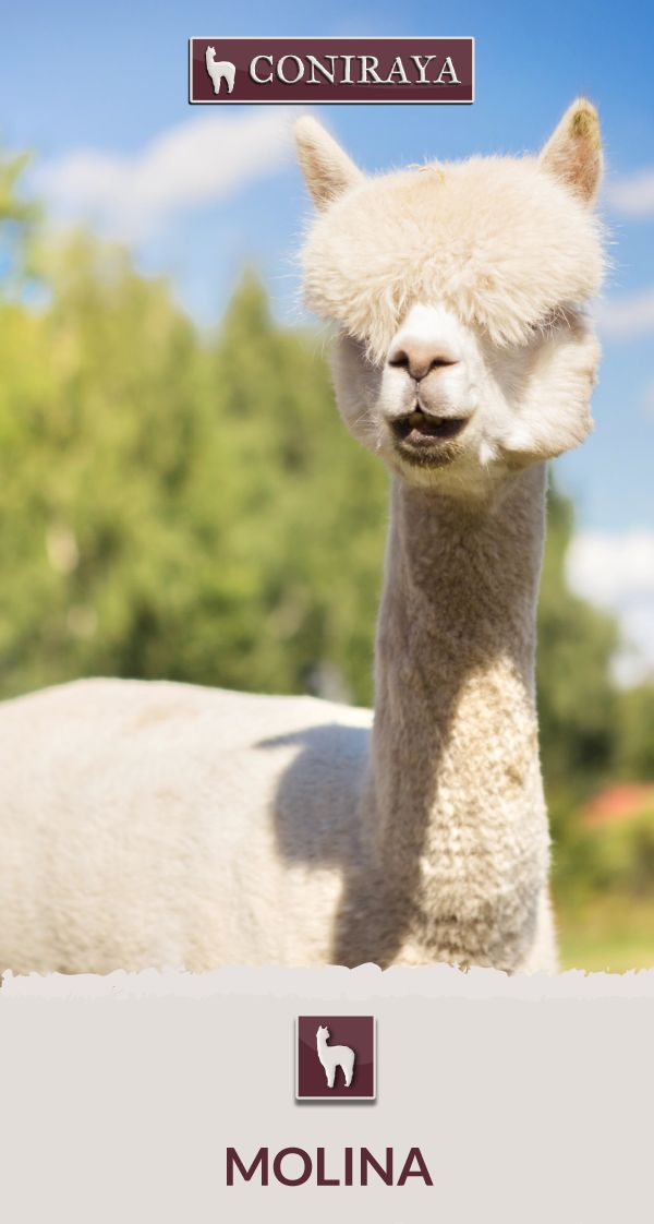 Meet Coniraya - Molina. This Alpaca was born in 2013 and its fiber is in color: White Check out more details on our site!