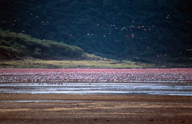 Kenya's Rift Valley is a wonderland in its own right. When its masses of flamingos take to the air, every visitor catches his breath and reaches for his camera. Spectacularly pink in colour and oddly shaped atop tall, bald, stilted…Read more ›