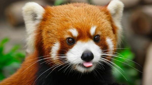 Types of Pandas Informations | Fun Facts About Giant & Red Pandas