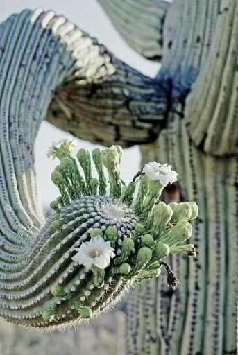 Cactus in bloei.