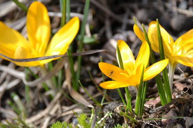 """Kukka ja pörriäinen ©Krais: """"Pitkän, harmaan ja viluisan kevään jälkeen heräsin eräänä päivänä harvinaiseen ilmiöön: olohuoneesta makuuhuoneeseeni ulottui valoviiru! Pinnistin muistiani ja tunnistin sen auringon valoksi!"""""""