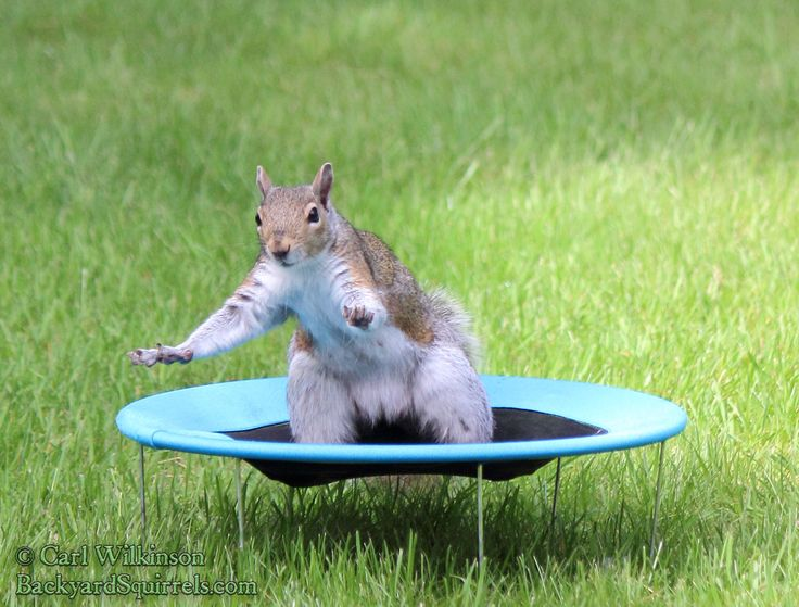 Gray squirrel on the mini trampoline in the back yard getting redy to bounce and do flips.