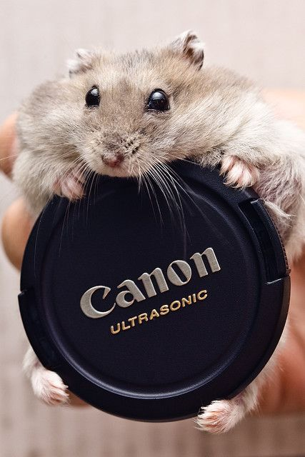 Dwarf hamster trying to figure out how to stash this in his cheek pouches.