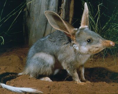 A bilby is a master digger & tunnel creator. Typically a bilby will have up to a dozen tunnels built within its home range that it uses for shelter and as a refuge from predators. Since it is a marsupial, the female bilby has a backward facing pouch which prevents dirt from getting inside when she is digging.