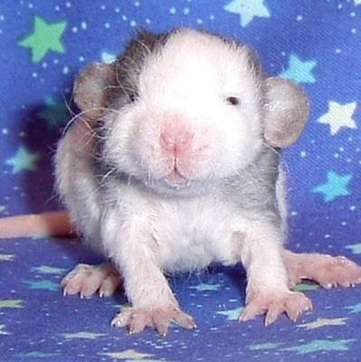 Cute baby dumbo rat - photo#21