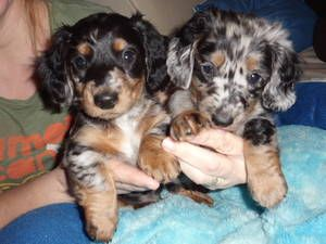not usually a dachshund fan, but these are cute - long haired (miniature preferred) dachshund dapple puppy! so darn cute!