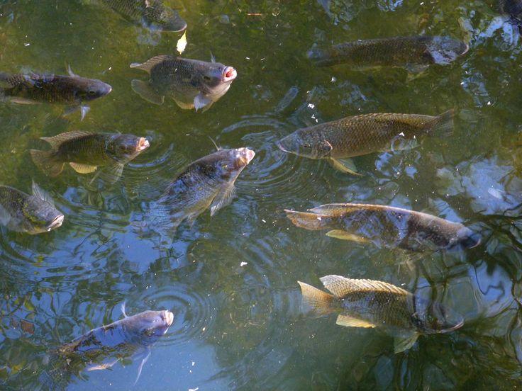 26 best fish farming aquaponics images on pinterest for Tilapia aquaponics