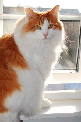 A Reddish Orange Norwegian Forest Cat with White Chest