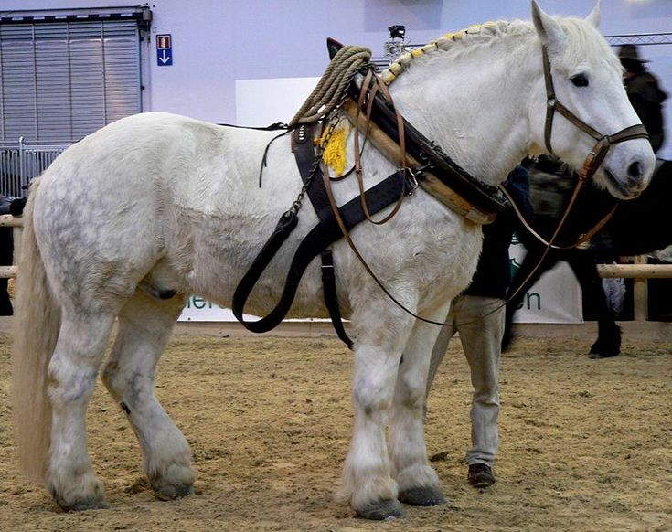 Percheron2
